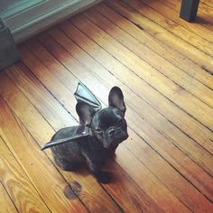 Ahhh love this. I was thinking about making Otis a bat for Halloween this year but the black puppy pulls it off way better.