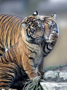 Amazing wildlife - Tigers love photo #tigers