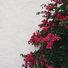 The bougainvillea in this town is insane. #wildinLA #fireflywest
