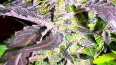 Medical cannabis strain Stone Dragon - YouTube