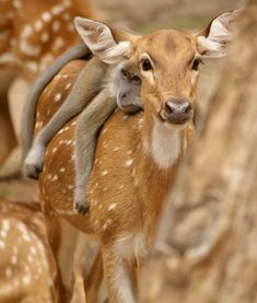 """secretdreamlife: """"Long-tailed macaque lazing on a chital deer friends in Malaysia. """" I can haz a monkee?"""