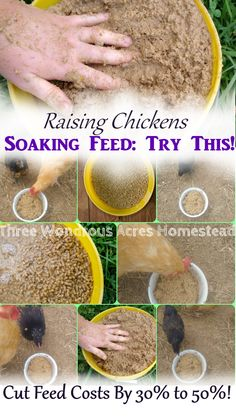 Soaking feed is perfect for when you don't have time (or just don't want) to ferment chicken feed. This is an incredible homesteading hack that could reduce your feed costs significantly! Chicken Feed Diy, Chicken Roost, Cheap Chicken Coops, Diy Chicken Coop Plans, Chicken Treats, Chicken Life, Backyard Chicken Coops, Raising Backyard Chickens, Keeping Chickens