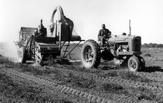 A 1950's 'Super M' Farmall tractor is pulling a combine to harvest peanuts. Peanuts are separated from the vines, then they are taken up through a 'shoot' and pumped into a bag. The left over vines were often used as 'hay' to feed cattle.