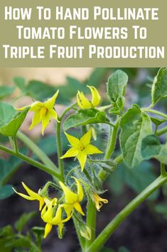 How To Hand Pollinate Tomato Flowers To Triple Fruit Production Growing Tomatoes, Growing Plants, Growing Vegetables, Home Vegetable Garden, Herbs Garden, Real Plants, Tomato Plants, Garden Care, Organic Vegetables