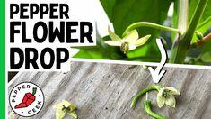 Growing Peppers, Pepper Plants, Garden Plants, Harvest, Planting, Gardening, The Creator, Geek Stuff, Veggie Gardens