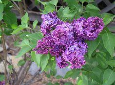 Lilacs in Full Glory :-)