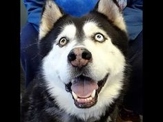 Meet NIKO-Friendly, Loveable Family Dog, a Petfinder adoptable Siberian Husky Dog in Indianapolis, IN | Petfinder.com
