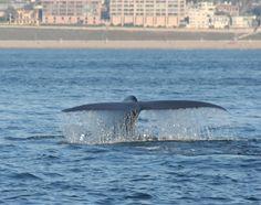 Blue Whales in Redondo Beach Bay. Blue Whale, Whales, Beach, Animals, Animales, The Beach, Animaux, Whale, Beaches