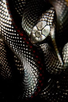 Red bellied #snake