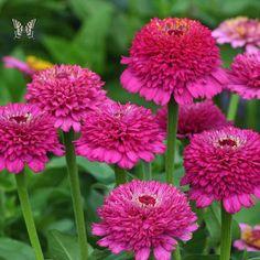 Items similar to Zinnia 'Zinderella Purple' Seeds / Zinnia elegans on Etsy Flower Shape, Cut Flowers, Single Flowers, Flowers Garden, Zinnia Elegans, Border Plants, Annual Flowers, Garden Shrubs, Garden Seeds