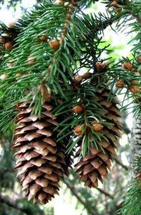 Our goal is to keep old friends, ex-classmates, neighbors and colleagues in touch. Pine Cone Tree, Pine Cones, Conifer Trees, Trees And Shrubs, Nature Plants, Flowers Nature, Botanical Flowers, Botanical Gardens, Ornamental Horticulture