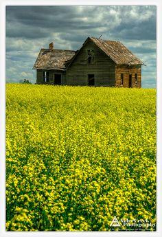 Old house and canola field, Bruderheim, Alberta.