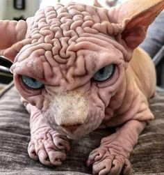 Originally named the Canadian hairless the sphynx got its start in Toronto Canada in 1966 when a litter of kittens included a hairless kitten as the result of a naturally occurring genetic mutation
