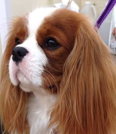 Very old and royal blood lines ~ they are so regal. Cavalier King Charles Spaniel