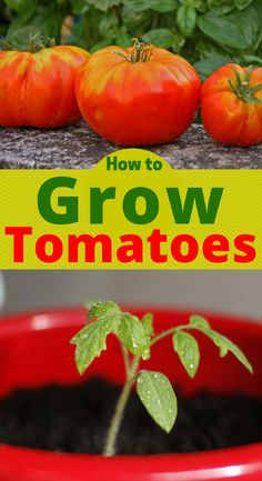 HOW TO GROW HEALTHY TOMATOES. Want to learn how to grow healthy organic tomatoes in your garden? Follow this step by step How to Grow Healthy Tomatoes organically in your backyard garden.