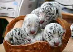 4 White / Siberian tiger cubs