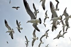 A-flock-of-seagulls-hang-fluttering-over-their-nests-in-a-remote-island-off-Tongyong-2040786.jpg (615×409)