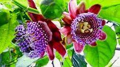 Metamorfose Ambulante: Passion¨s fruit  flower