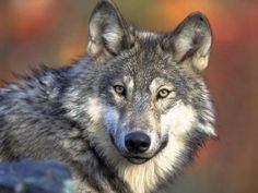 DFP_wolf_proposals_f_1_1_7P91THH5_L512980018 NEW LAW ONLY ALLOWS CONGRESSMEN TO HUNT THIS WOLG