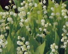 Lily of the Valley is a gardener's answer to filling in for colour where there is much shaded areas. Sometimes, but not always, you may find this flower mixed in with hostas, bleeding heart and ferns. Lily of the Valley requires moist soil.