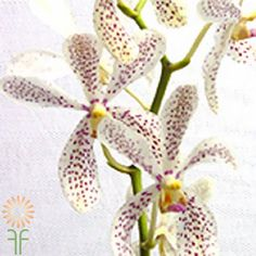 Mokara-Christine-White White Wedding Flowers, Orchids, Orchid Flowers, Corsage, Colorful Flowers, Floral Design, Bouquet, Bloom, Purple