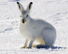 Let's talk about the most interesting arctic hare facts such as arctic hares diet, habitat, breeding, and behavior. The arctic hare (Lepus arcticus), also called polar rabbit is a species of hare Tundra Ártica, Arctic Tundra, Polar Animals, Polar Bear, Cute Animals, Hamsters, Arctic Hare, Musk Ox, Furry Tails
