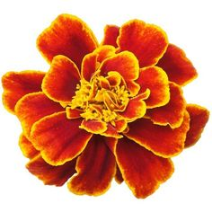 San Francisco Marigolds ❤ liked on Polyvore featuring home, home decor, flowers, plants, orange home decor and victorian home decor