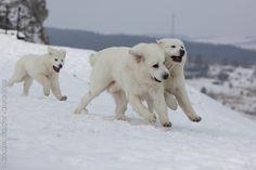 TATRA SHEPHERD DOG/TATRA MOUNTAIN DOG