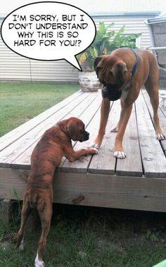 why so hard? #Boxer #dog