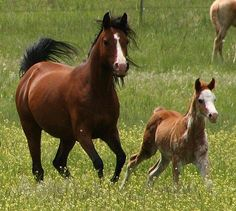 Fantasy Flair and Rhevelation. Bay Arabian mare with her foal.