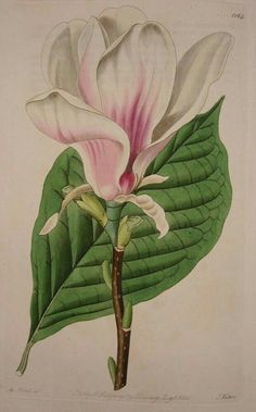 Magnolia flower and leaf.