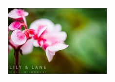 Pink Flowers Fine Art Print by LilyandLanePhoto on Etsy, $25.00