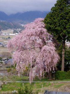 Kichise no Sakura #komagane #nagano #japan