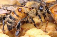 Scientists have determined the best way of controlling Varroa mites – one of the threats facing honey bees – without harming the bees themselves.