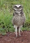 Aves de Rapina BRASIL - Coruja Buraqueira  - Athene cunicularia -