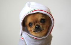Chihuahua in a hoodie makes everything better