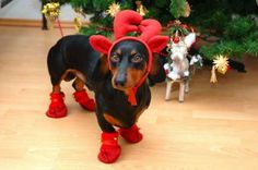 On Christmas Day I Will Wear Red Shoes And Red Hat More photos of cute and funny puppies, visit http://pewpaw.com/on-christmas-d…es-and-red-hat/