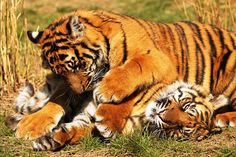 So you dont have a tickle spot.. come here lemme check #savethetiger #savemycubs #tigers #wildlife #wildcats #bigcats