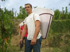 Franck Balthazar in full harvest in his Mazards plot #rhone #wine #northernrhone #cornas