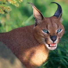 A caracal is a golden cat that lives in dry regions, from Africa to India. When a caracal is ready to attack, it turns its ears toward its back, but doesn't completely flatten them