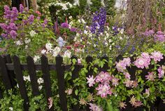 Flower Garden with Climbing Clematis on Fence, mixed perennials and flowering shrubs by judywhite / Garden Photos .com