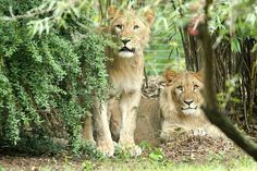 Tragic news from a zoo in Germany today as a young lion - still a cub at just one years old - is killed after he and his brother escaped from their enclosure.