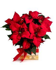 Trimite cuiva drag o frumoasă urare de Crăciun cu ajutorul acestei Crăciunițe festive. Steaua Crăciunului este planta care înfrumusețează decorul oricărei încăperi și face sărbătorile de iarnă și mai speciale. Comandă acum un cadou inspirat, iar noi livrăm în 2-4 ore. #euphorbia #poinsettia #craciunita Magnolia, Plant, Magnolias