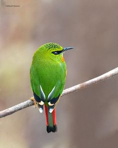 Fire Tailed Myzornis (Myzornis pyrrhoura). The species is found in Bhutan, China, India, Myanmar, and Nepal.