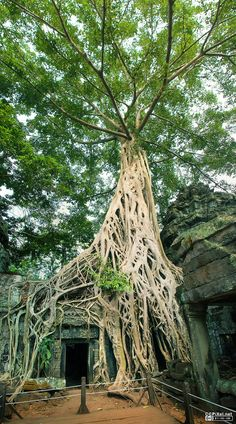 Ta Prohm Temple – One Of The Most Historical Temple In Cambodia-1  - Explore the World with Travel Nerd Nici, one Country at a Time. http://travelnerdnici.com/
