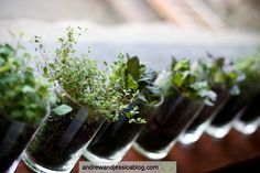 Planted live herb centerpiece in small containers. Idea: use shot glasses or candle holders.