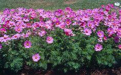 Cosmos Seeds - SONATA PINK BLUSH - Easy to Grow - Cosmos Bipinnatus - 25 Seeds | eBay