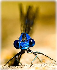 Blue damselfly, by Julia Sumangil Beautiful Creatures, Animals Beautiful, Cute Animals, Beautiful Bugs, Beautiful Butterflies, Amphibians, Reptiles, Blue Dragonfly, Dragonfly Logo