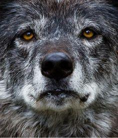 Gray   Grey   Gris   グレー   Grigio   серый   Gurē   Colour   Texture   Pattern   Style   Design   Composition   Wolf
