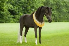 Already an AMHR National Top Ten, this is one COOL little gelding! Geldings are the way of the future and it takes a great stallion to make a good gelding in today's tough competition! And this one won't be an easy one to beat! Offered by Mini Horse Sales.